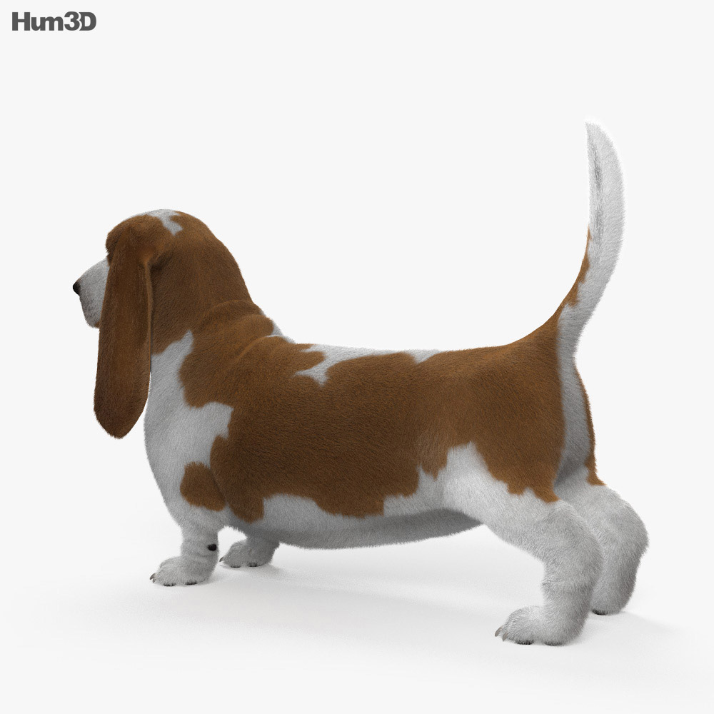 Basset Hound HD 3d model