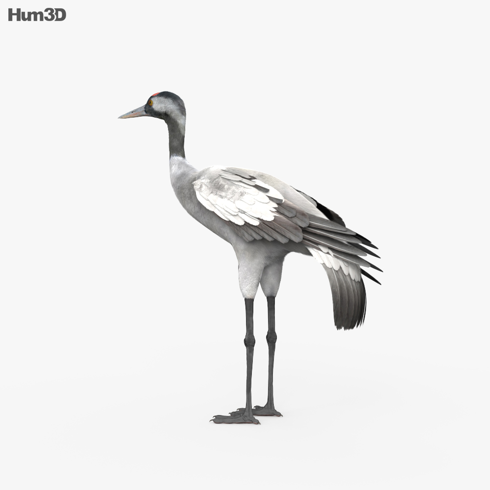 Common Crane HD 3d model