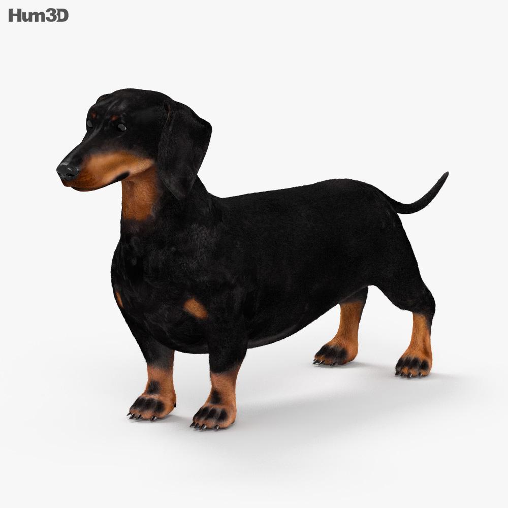 Dachshund HD 3d model