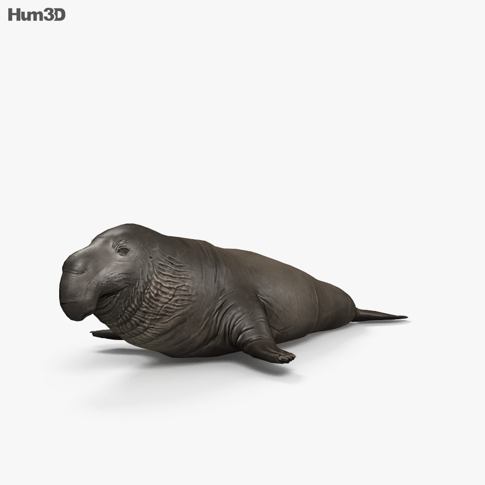 Northern Elephant Seal HD 3d model