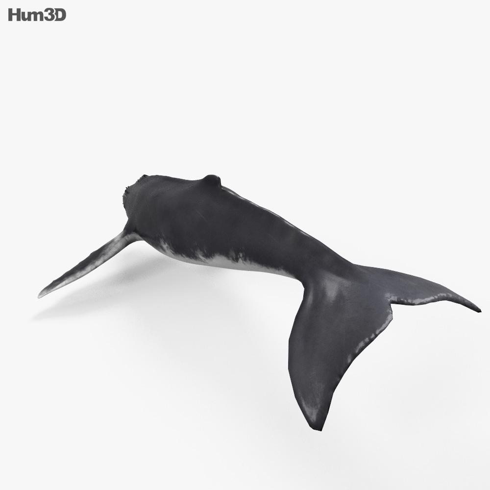 Humpback Whale HD 3d model
