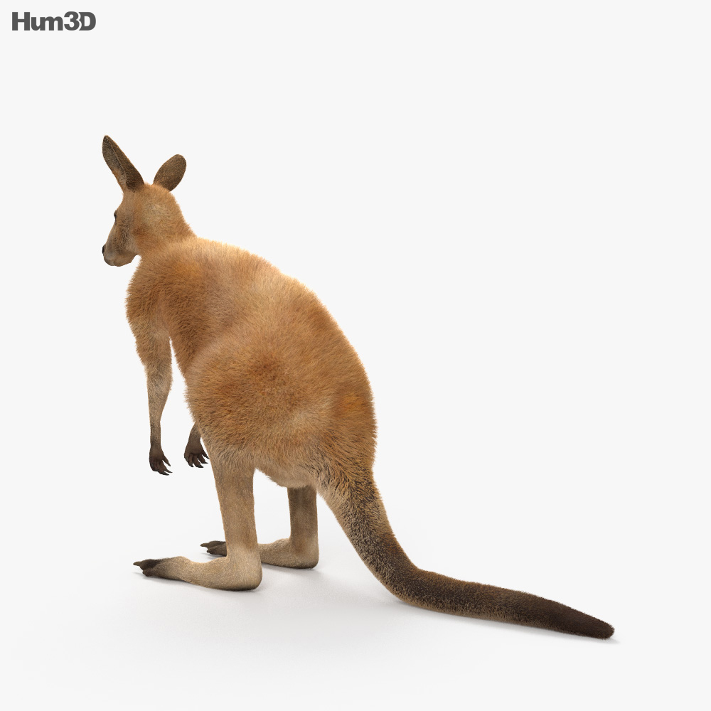 Kangaroo HD 3d model