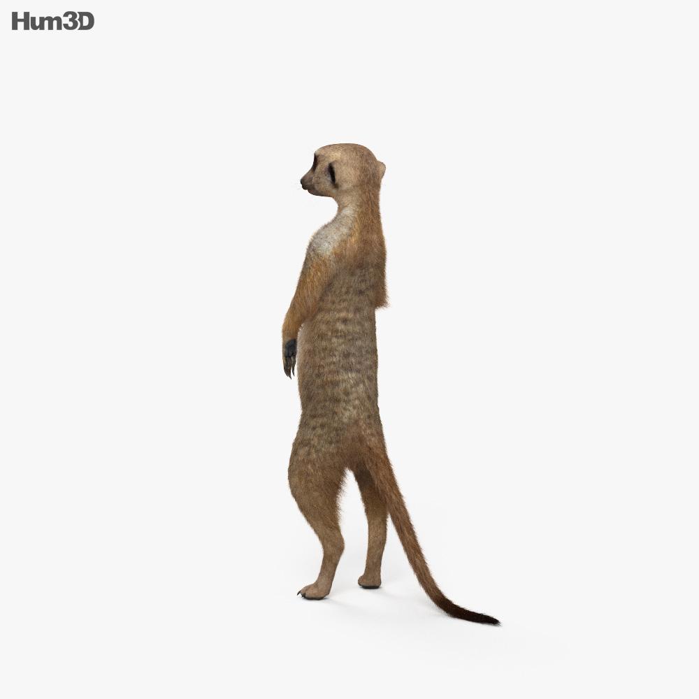 Meerkat HD 3d model