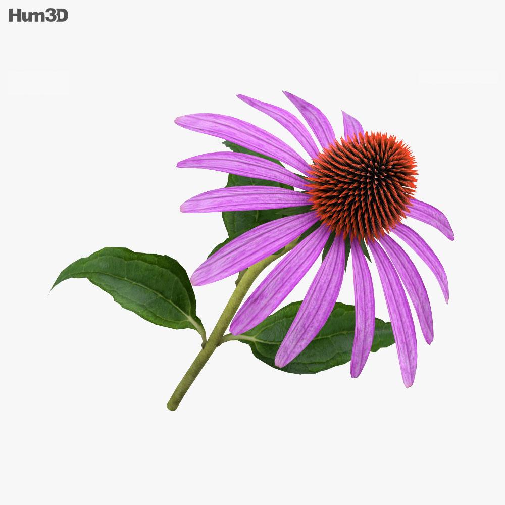 3D model of Echinacea