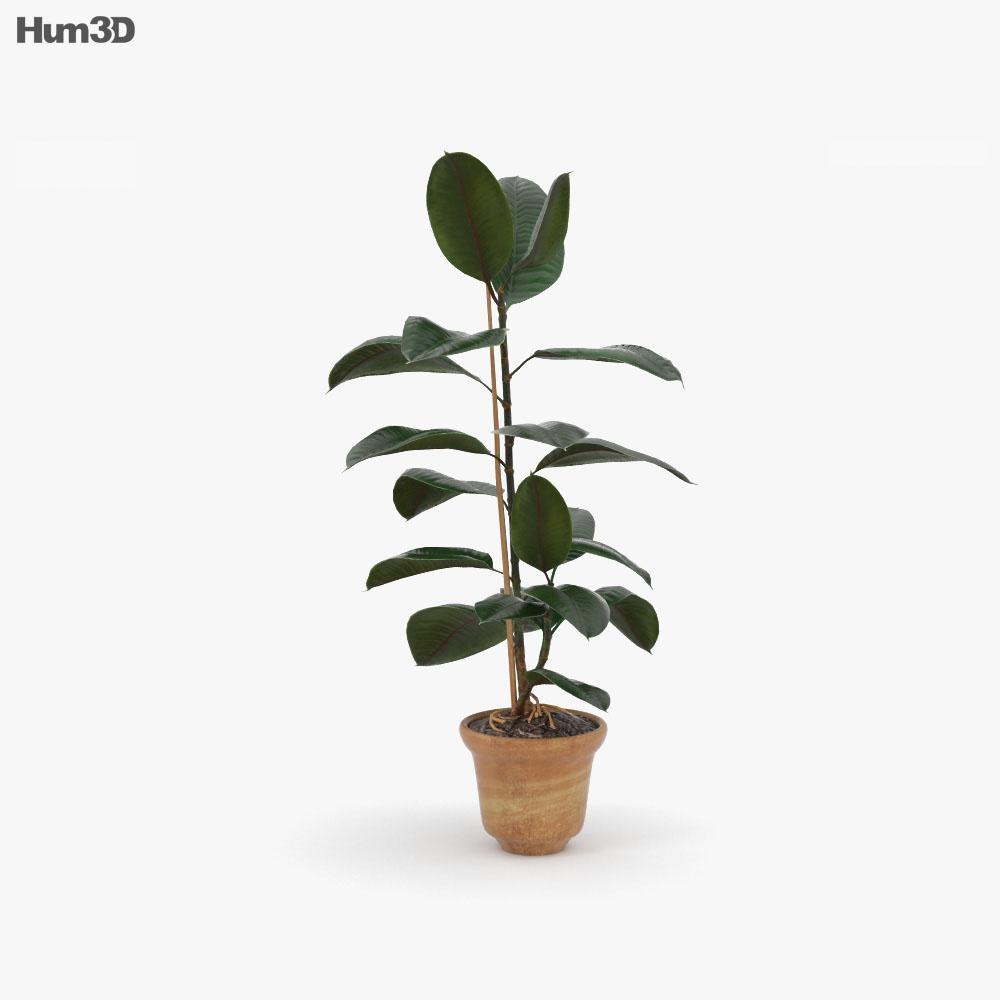 Ficus 3d model