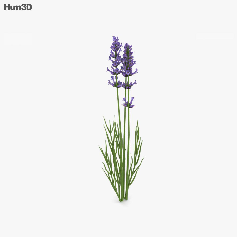 Lavender 3d model