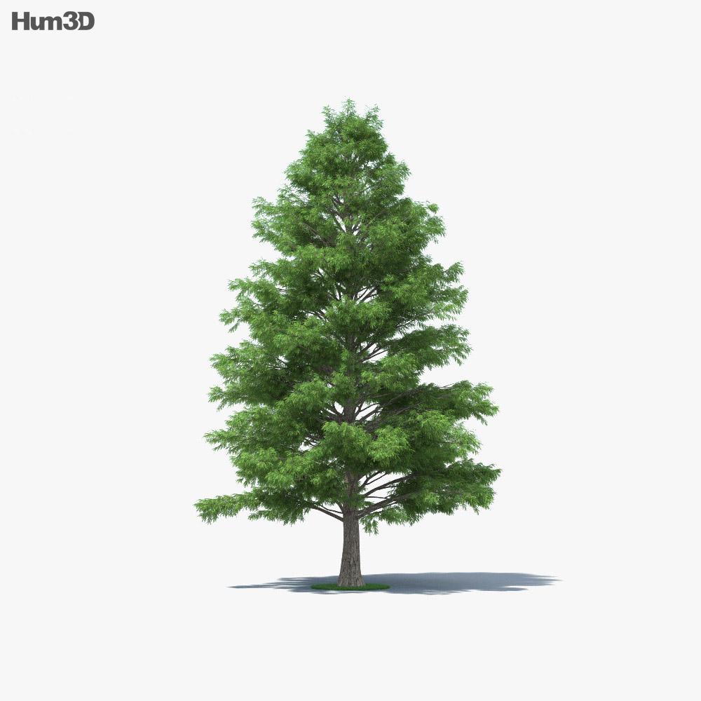 Bald Cypress 3d model