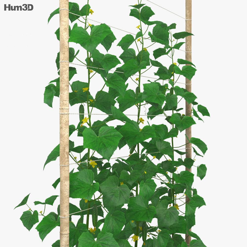 Cucumber Plant 3d model