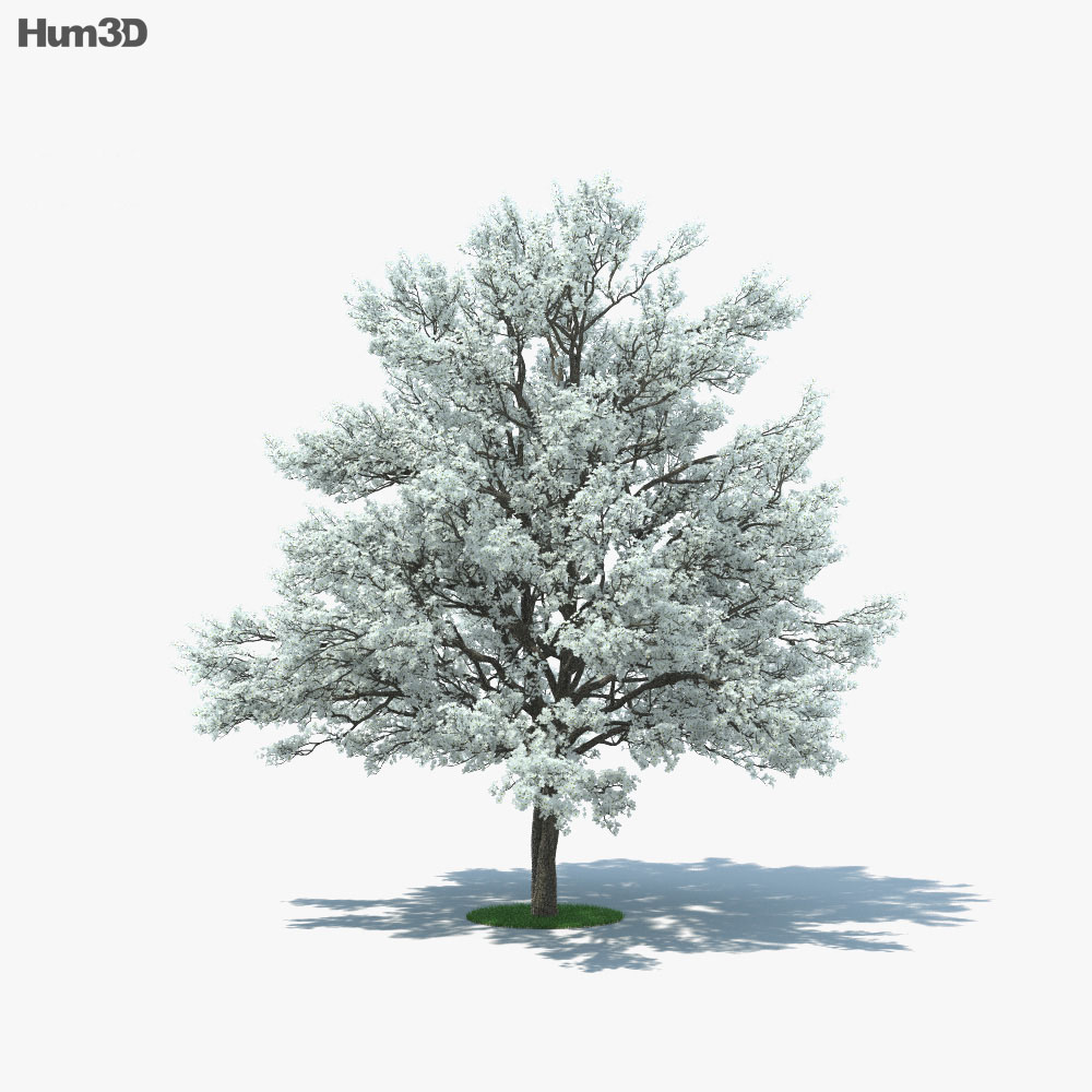 Flowering Dogwood 3d model