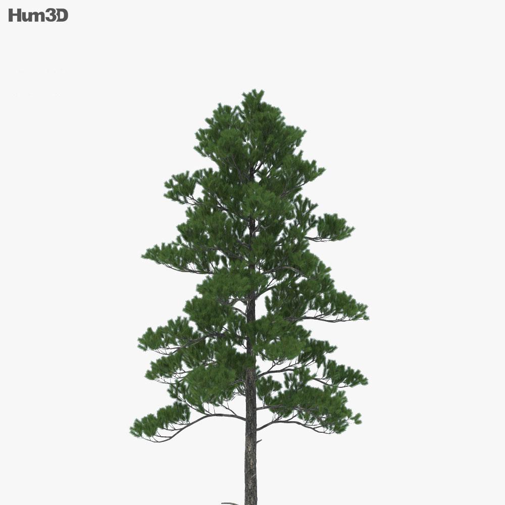 Loblolly Pine 3d model