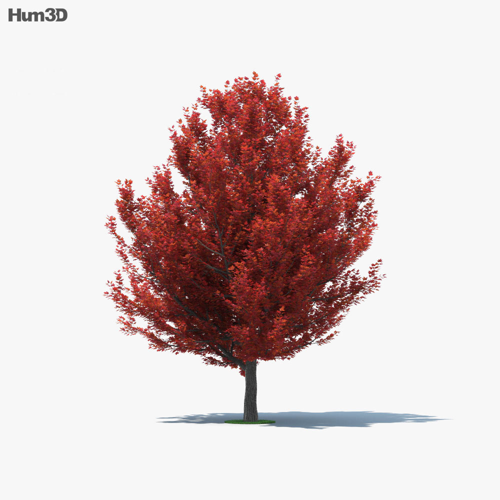 Red Maple 3d model