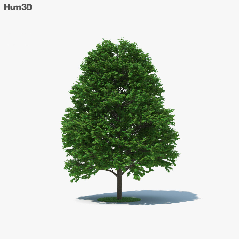 Sugar Maple Tree 3d model